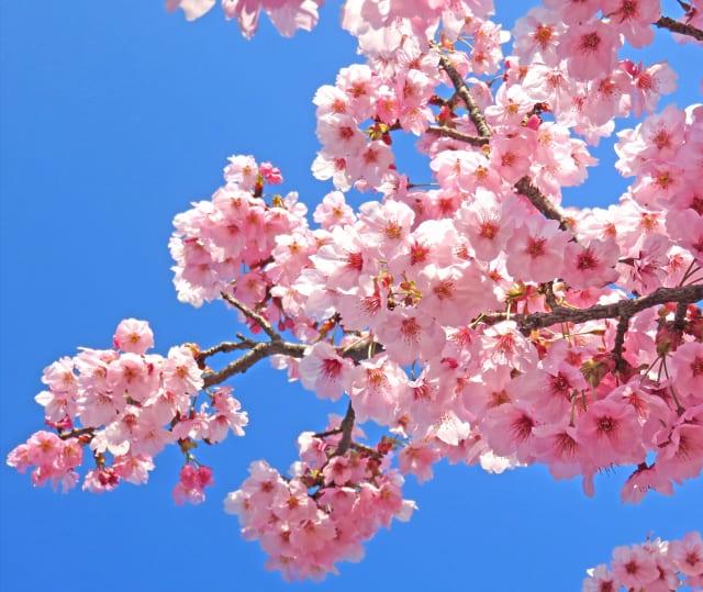 桜の木にはさくらんぼがなる木がある!見分けるポイントまとめ